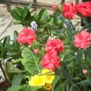 Dianthus - Nagelj, nageljček Avtor:katrinca rastline.mojforum