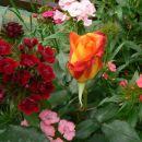 Dianthus barbatus-brkati nageljček-turški nageljček  Avtor: vrtnarka rastline.mojforum
