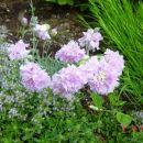 Dianthus - Nagelj, nageljček Avtor:muha rastline.mojforum