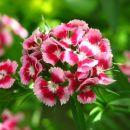 Dianthus barbatus-brkati nageljček-turški nageljček  Avtor: magnolija rastline.mojforum.