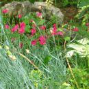 Dianthus - Nagelj, nageljček Avtor: magnolija rastline.mojforum.si