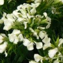 Dianthus barbatus-brkati nageljček-turški nageljček Avtor: vrtnarka rastline.mojforum.si