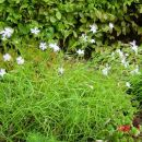 Dianthus - Nagelj, nageljček Avtor: muha rastline.mojforum.si