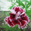 Dianthus - Nagelj, nageljček Avtor: linda rastline.mojforum.si