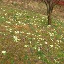 Primula - primula, jeglič, avrikelj Avtor: magnolija rastline.mojforum.si