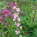 Delphinium - Ostrožnik Avtor: linda rastline.mojforum.si