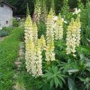 Lupinus Avtor: arena rastline.mojforum.si