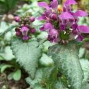 Lamium maculatum - pisanolistna mrtva kopriva Avtor: katrinca rastline.mojforum.si