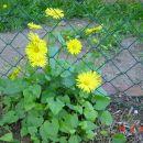 Doronicum .Divjakovec      Avtor : muha rastline.mojforum.si