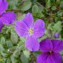 Aubrieta - Avbrecija Avtor: katrinca, rastline.mojforum.si