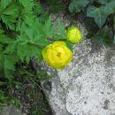 Trollius - Pogačica Avtor: muha  rastline.mojforum.si