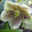 Helleborus orientalis - Teloh Avtor: zupka rastline.mojforum.si