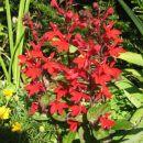 L.cardinalis, Avtor: zupka, www.rastline.mojalbum.si