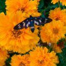 Coreopsis - Lepe očke, vretenčnik Avtor: vrtnarka rastline.mojforum.si