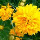 Coreopsis - Lepe očke, vretenčnik Avtor: linda rastline.mojforum.si