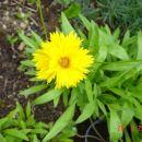 Coreopsis - Lepe očke, vretenčnik Avtor: muha rastline.mojforum.si