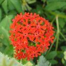 L.chalcedonica (goreča ljubezen, kalcedonska lučca), Avtor: zupka, rastline.mojforum.si