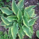 Hosta - Hosta Avtor: Gretka* rastline.mojforum.si
