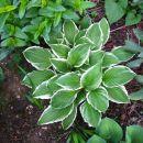 Hosta - Hosta, Avtor: muha rastline.mojforum.si