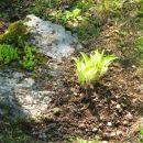Hosta - Hosta, Avtor: magnolija rastline.mojforum.si