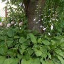Hosta - Hosta Avtor: katrinca rastline.mojforum.si