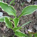 Hosta sp.Albomarginata   Avtor: linda rastline.mojforum.si