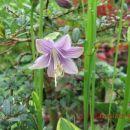 Hosta  Avtor: linda rastline.mojforum.si