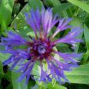 Centaurea - Glavinec, Avtor: katrinca, www.rastline.mojforum.si