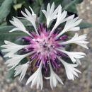 Centaurea Montana  Avtor: zupka rastline.mojforum.si