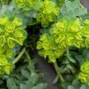 Euphorbia - Mleček, Avtor: katrinca rastline.mojforum.si