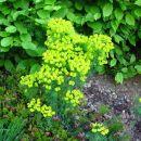 Euphorbia cyparissias - cipresasti mleček Avtor: muha rastline.mojforum.si