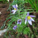 Pulsatilla - kosmatinec Avtor: muha rastline.mojforum.si