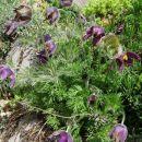 Pulsatilla - kosmatinec Avtor: solinar rastline.mojforum.si