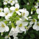 Arabis caucasica  Avtor: zupka rastline.mojforum.si