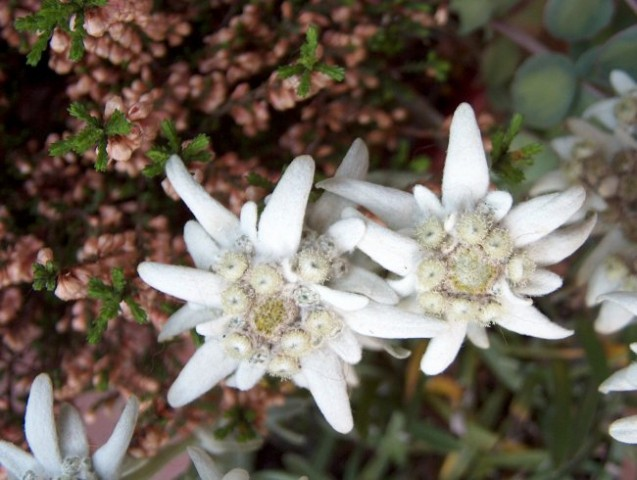 Leontopodium - Planika Avtor: katrinca rastline.mojforum.si
