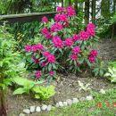 Rhododendron - Rododendron Avtor: muha, rastline.mojforum.si