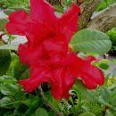 Rhododendron - Rododendron Avtor: katrinca  rastline.mojforum.si