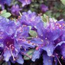 Rhododendron impeditum 'Azurika'  Avtor: zupka rastline.mojforum.si