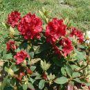 Rhododendron - Rododendron Avtor: vrtnarka rastline.mojforum.si