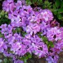 Rhododendron Lilac Time - Azaleja Avtor:katrinca rastline.mojforum.si