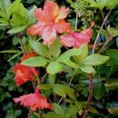 Rhododendron Homebush - Azaleja Avtor:katrinca rastline.mojforum.si
