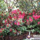 Rhododendron  - Azaleja Avtor:Roža  rastline.mojforum.si