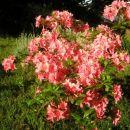 Rhododendron  - Azaleja  Avtor:romana  rastline.mojforum.si