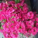 Rhododendron obtusum japonicum Kermesina  Avtor:katrinca rastline.mojforum.si