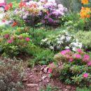 Rhododendron  - Azaleja Avtor: mfranc rastline.mojforum.si
