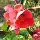 Chaenomeles - Japonska kutina  Avtor: magnolija, rastline.mojforum.si