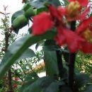 Chaenomeles - Japonska kutina Ponovno zacvetela , na sosednji veji pa so že vidni plodovi