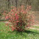 Chaenomeles - Japonska kutina Avtor: magnolija rastline.mojforum.si