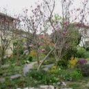Magnolia - Magnolija    Avtor: katrinca rastline.mojforum.si
