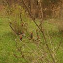 Magnolia - Magnolia  Avtor: magnolija     rastline.mojforum.si